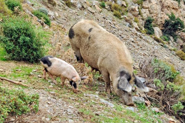 Motorrad fahren - Sardinien - Schweine im Bergland von Gennargentu ©Heinz E. Studt